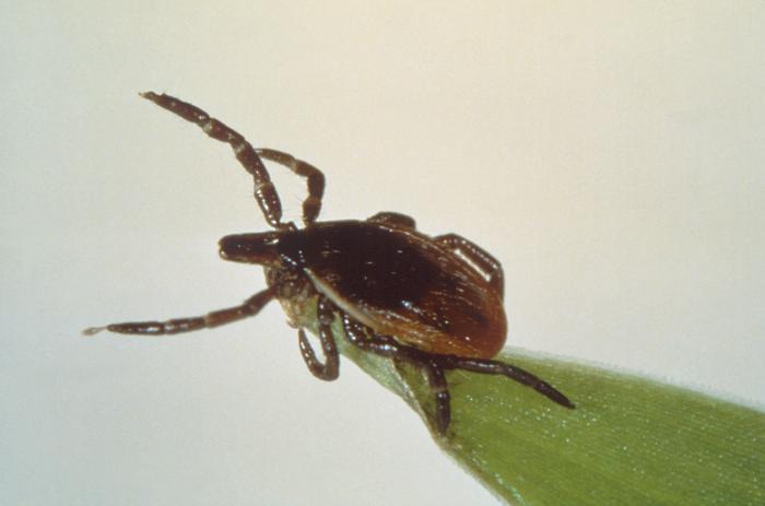 Lyme tick Ixodes scapularis 14473_lores